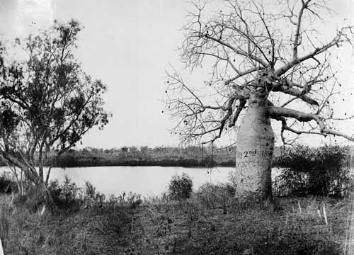 Baobab tree on Victoria River